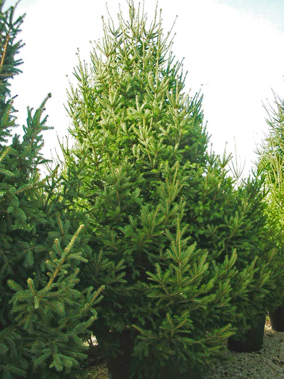 Picea Abies o abete rosso
