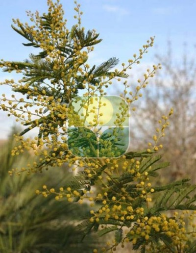 ACACIA DEALBATA TOURNAIRE