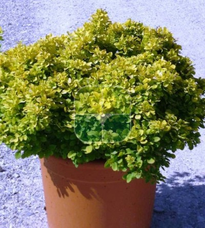 BERBERIS THUNBERGII TINY GOLD