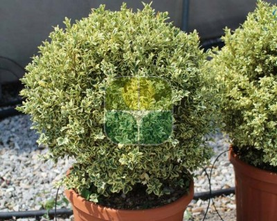 BUXUS MICROPHYLLA GOLDEN DREAM