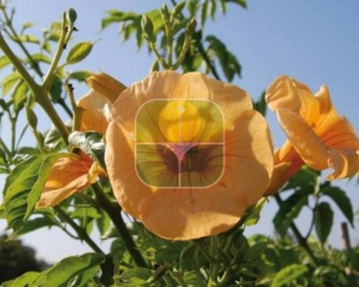 CAMPSIS X TAGLIABUANA SUMMER JAZZ SUNRISE GOLD