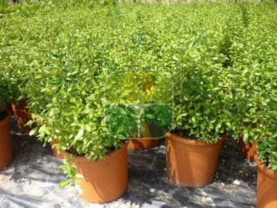 COPROSMA LEMON AND LIME