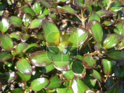 COPROSMA PACIFIC NIGHT
