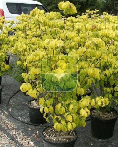 CORNUS FLORIDA CLEAR MOON