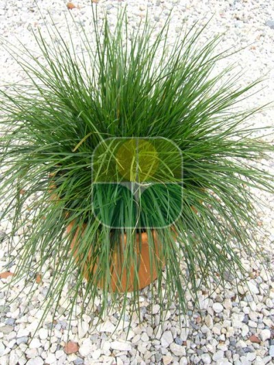 DESCHAMPSIA CESPITOSA GOLDTAU