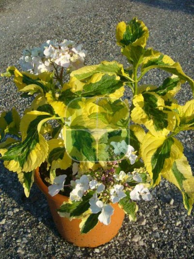 HYDRANGEA MACROPHYLLA PIRATES GOLD