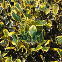 ILEX X ALTACLERENSIS GOLDEN KING
