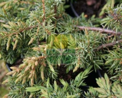 JUNIPERUS COMMUNIS GREEN CARPET