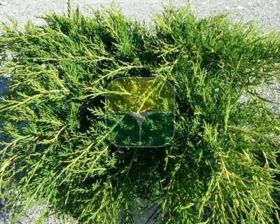 JUNIPERUS X PFITZERIANA OLD GOLD