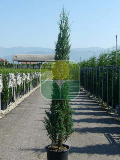 JUNIPERUS SCOPULORUM BLUE ARROW