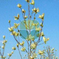 MAGNOLIA DENUDATA YELLOW RIVER