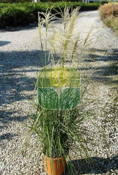 MISCANTHUS SINENSIS NIPPON