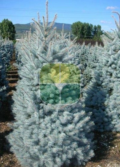 PICEA PUNGENS BLUE DIAMOND