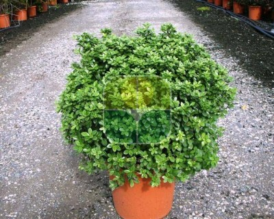 PITTOSPORUM TENUIFOILUM GOLF BALL