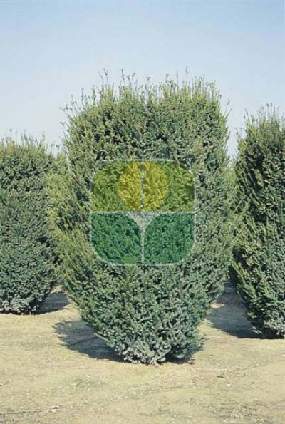 TAXUS X MEDIA HICKSII